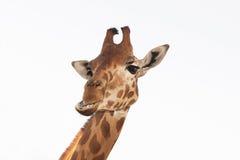 关闭长颈鹿在白色的题头孤立射击  免版税图库摄影