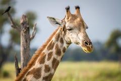 关闭长颈鹿的头 免版税库存图片