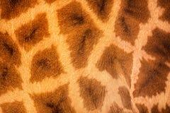 关闭长颈鹿皮肤 免版税库存图片