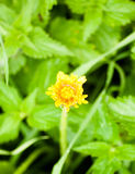 关闭闭合的黄色蒲公英头状花序唯一绿色bac 免版税库存图片