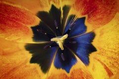 关闭雌蕊看法在郁金香花里面的 图库摄影