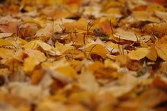关闭雏菊和下落的杏子叶子在秋天 库存照片