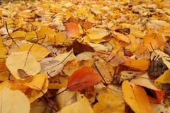 关闭雏菊和下落的杏子叶子在秋天 免版税库存照片