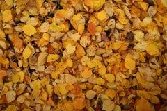 关闭雏菊和下落的杏子叶子在秋天 免版税图库摄影