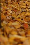 关闭雏菊和下落的杏子叶子在秋天 图库摄影