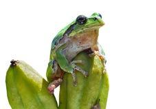 雨蛙(雨蛙) 16 免版税库存图片