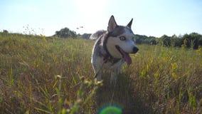 关闭震动水滴的湿西伯利亚爱斯基摩人狗从他的毛皮的在领域在晴天 幼小家畜 影视素材