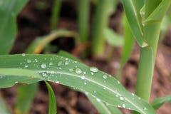 关闭露水在一片甜玉米叶子的水滴 图库摄影