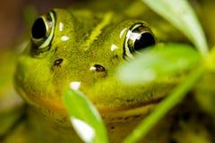 关闭青蛙在池塘 库存图片