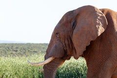 关闭非洲布什大象 库存图片