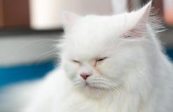 关闭面孔白色波斯猫睡眠 库存照片
