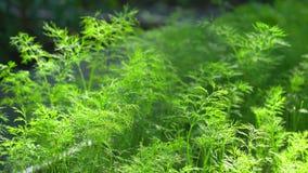 关闭领域用新鲜的绿色莳萝准备好收获在有机蔬菜庭院里在一个晴朗的夏日 收获 股票视频