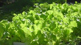 关闭领域用新鲜的绿色莴苣准备好收获在有机蔬菜庭院里在一个晴朗的夏日 影视素材