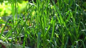 关闭领域用新鲜的绿色韭葱葱准备好收获在有机蔬菜庭院里在晴朗的夏日 影视素材
