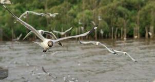 关闭飞行在森林和海附近的海鸥 库存照片
