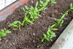关闭香菜香菜幼木,发芽作为microgreens,连续,在庭院大农场主,使用天然肥料土壤 免版税库存照片
