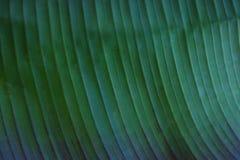关闭香蕉棕榈叶的播种的图象与可看见的纹理结构的 绿色自然概念背景 库存图片