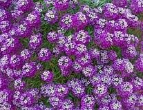 关闭香雪球皇家地毯紫色花 免版税库存图片