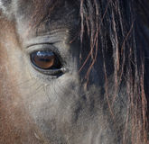 关闭马的眼睛 免版税库存图片