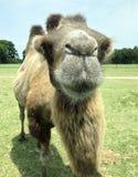 关闭骆驼面孔 免版税图库摄影
