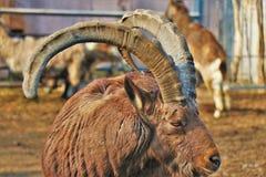 关闭高地山羊, 免版税图库摄影