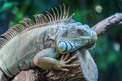 关闭鬣鳞蜥的画象 免版税图库摄影