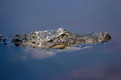 关闭鳄鱼游泳 图库摄影