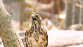 关闭鸷在树枝的猎鹰 在狂放的自然的掠食性鸟 鸟类学,鸟的监视人,动物学概念 股票录像