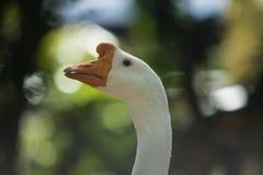 关闭鹅头反对绿色迷离背景 图库摄影