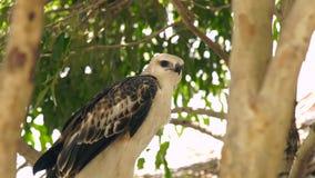 关闭鹰鸷在绿色树枝的蛇老鹰 在狂放的自然的掠食性鸟 鸟类学,鸟的监视人 股票视频