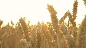 关闭麦子的金黄耳朵 影视素材