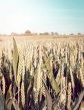 关闭麦子 免版税图库摄影