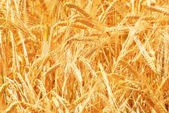 关闭麦子 免版税库存照片