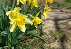 关闭黄色开花的黄水仙 免版税库存图片
