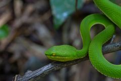 关闭黄色有嘴绿色坑蛇蝎蛇 免版税库存图片