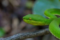 关闭黄色有嘴绿色坑蛇蝎蛇 库存照片