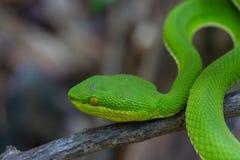 关闭黄色有嘴绿色坑蛇蝎蛇 库存图片