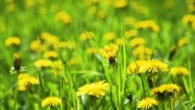 关闭黄色蒲公英在春天