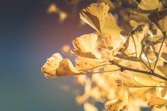 关闭黄色银杏树叶子,当阳光 免版税库存图片