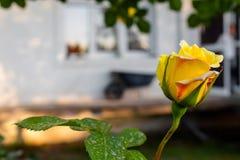 关闭黄色闭合的玫瑰在春天在房子的庭院里 库存照片