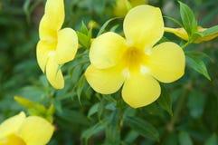关闭黄蔓与绿色叶子的cathartica花 免版税库存照片