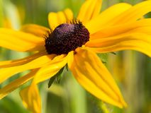 关闭黄金菊在阳光下 图库摄影