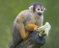 关闭黑加盖的松鼠猴子用食物 库存照片
