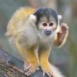 关闭黑加盖的松鼠猴子 库存图片