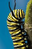 关闭黑脉金斑蝶丹尼亚斯plexippus毛虫 库存照片