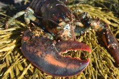 关闭龙虾爪的照片 免版税图库摄影