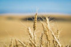 关闭,麦子,收割期 免版税库存图片