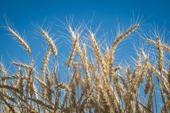 关闭,麦子,收割期 免版税图库摄影