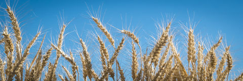 关闭,麦子,收割期 免版税库存照片
