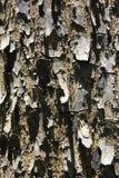 关闭-一棵热带树的美丽的织地不很细吠声 免版税图库摄影